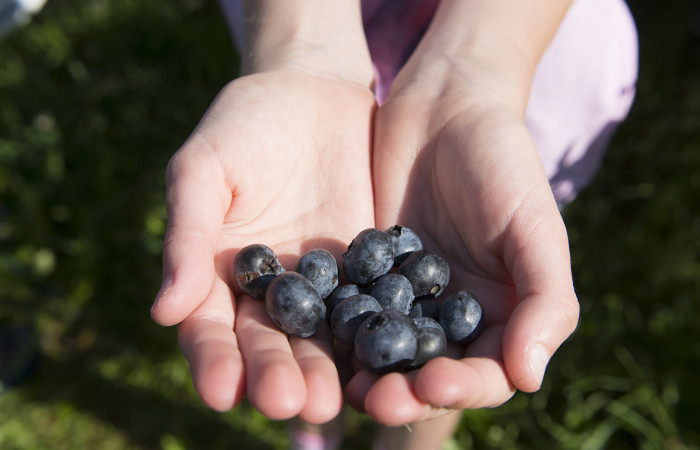 The Blueberry Patch: Head to Mansfield to pick your own plump berries